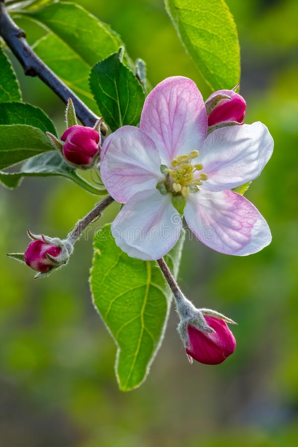 Nice apple flowers in springtime royalty free stock photography