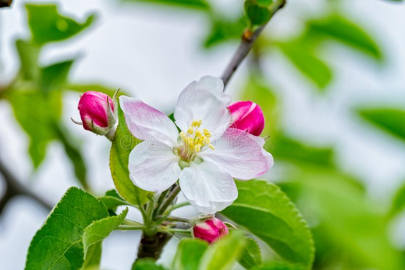 Nice apple flowers in springtime stock photography