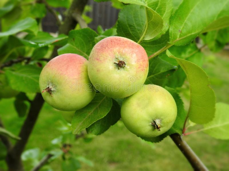 Beautiful apples on apple tree branch, Lithuania royalty free stock image