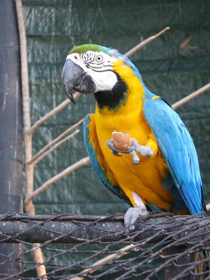 Parrot ara blue yellow in zoo stock image
