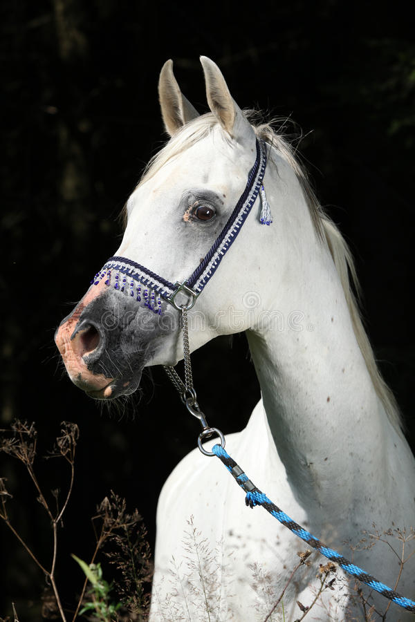 Nice arabian stallion with show halter
