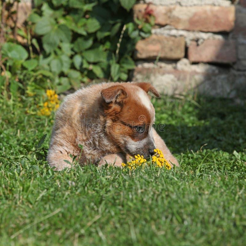 Nice Australian Cattle Dog lying on the grass stock image
