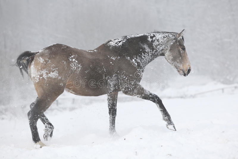 Nice bay quarter horse moving in winter stock photography