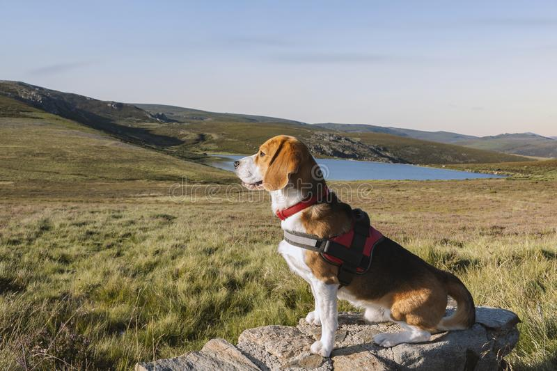 Nice Beagle breed dog sitting on a rock at sunset near a lake. Beagle dog sitting on a rock and surrounded by meadows and mountains at sunset, next to the laguna royalty free stock image