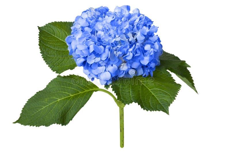 Nice blåttvanlig hortensia royaltyfria bilder