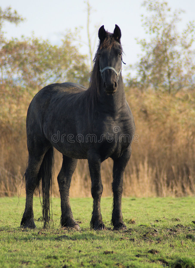 Nice black baroc horse. A beautifull black baroc horse is showing off anbd it works, it's impressive royalty free stock images