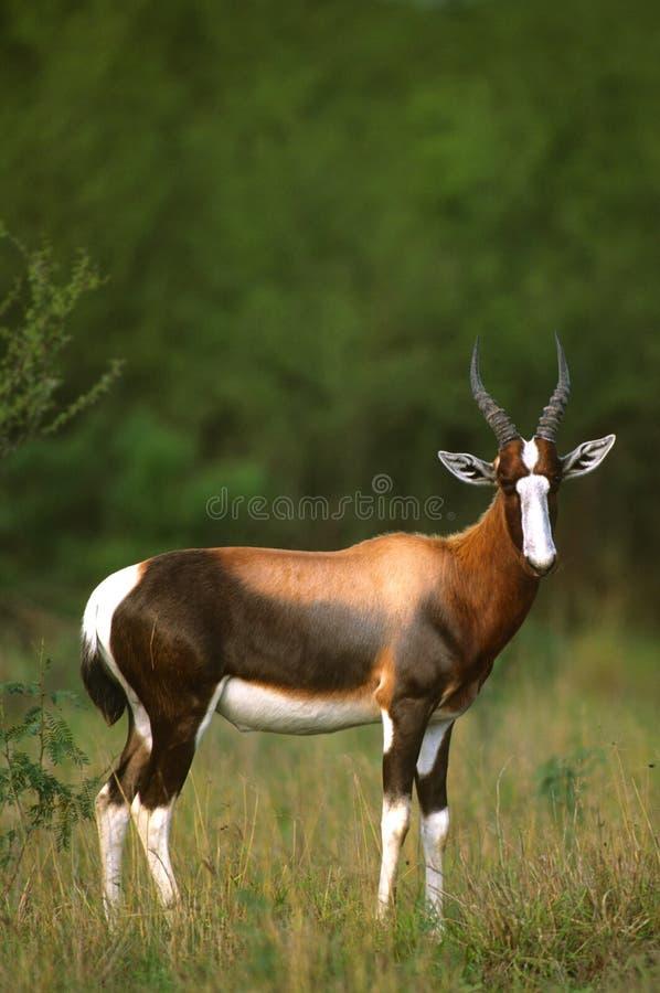 Download Nice Blesbok in Grass stock image. Image of safari, animal - 12523481