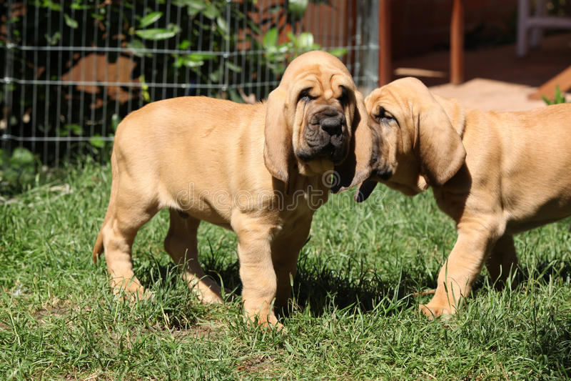 Nice bloodhound puppies royalty free stock images