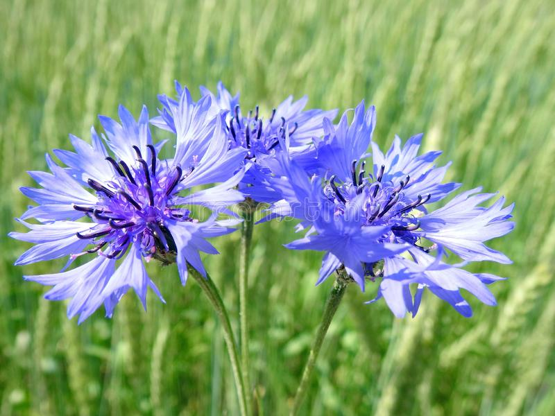 Beautiful wild blue cornflower in spring, Lithuania stock photo