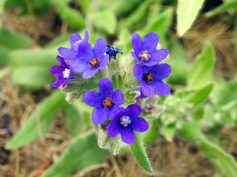 Beautiful blue wild flowers, Lithuania royalty free stock images