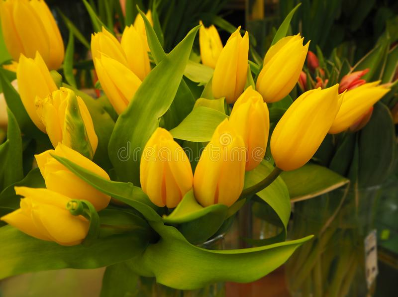 A bouquet of yellow tulips stock photography