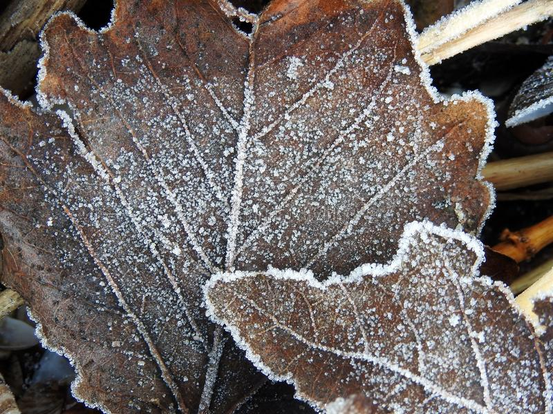 Beautiful brown leafs with frost, Lithuania royalty free stock image