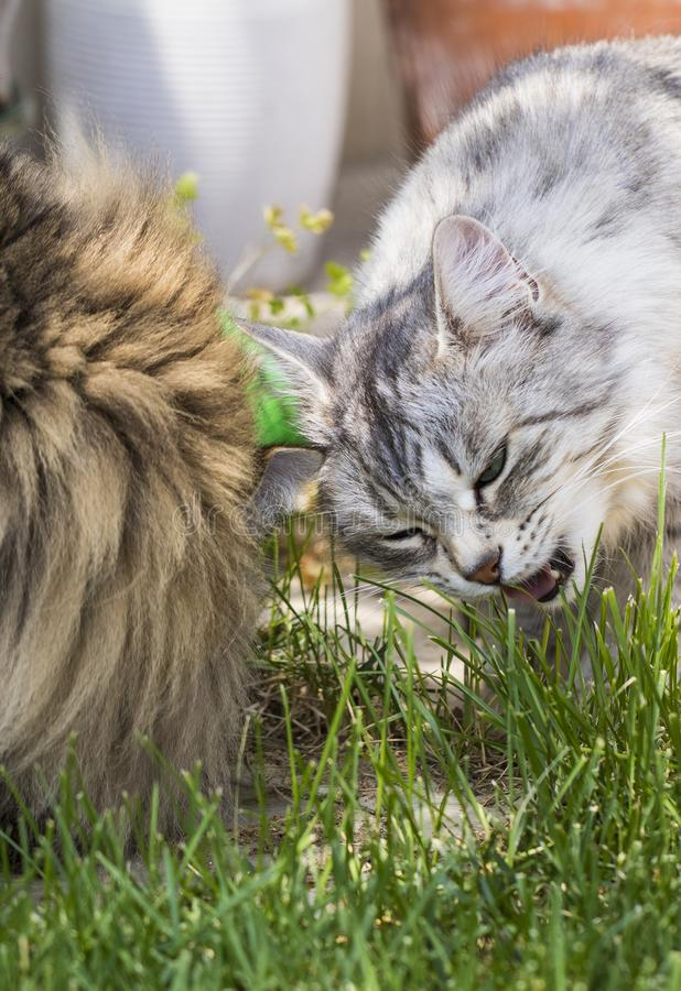 Nice cats eating outdoor, siberian purebred male pet. Pets from siberian livestock. Adorable domestic cats eating grass outdoor. Gorgeous pet brown tabby and stock image