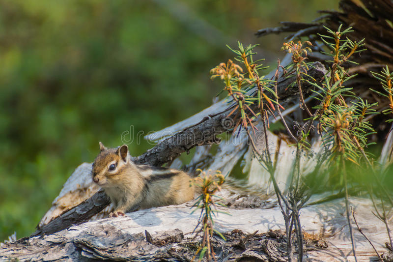 Download Nice chipmunk stock image. Image of bush, tree, grass - 31984149