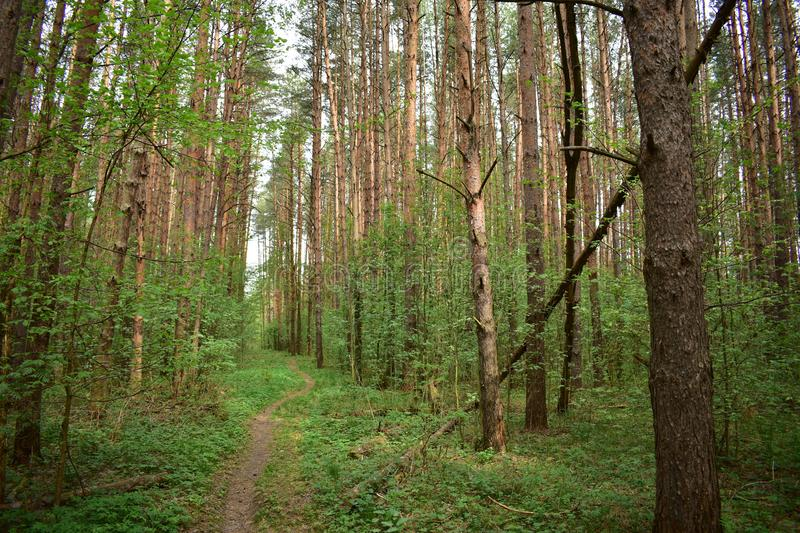 Nice and clean handsome pine forest high net exactly huge candles rise above stock images