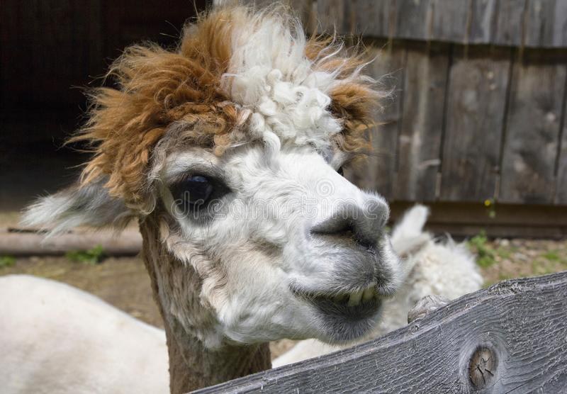 Llama portrait. Nice close-up portrait of funny llama royalty free stock images