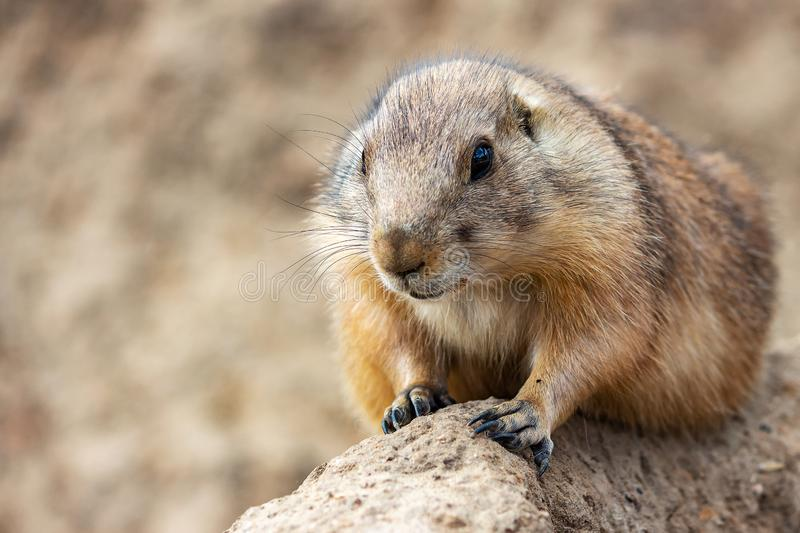 A nice close up of a prairie dog in animal park Wildlands, Emmen, Netherlands.  royalty free stock photo