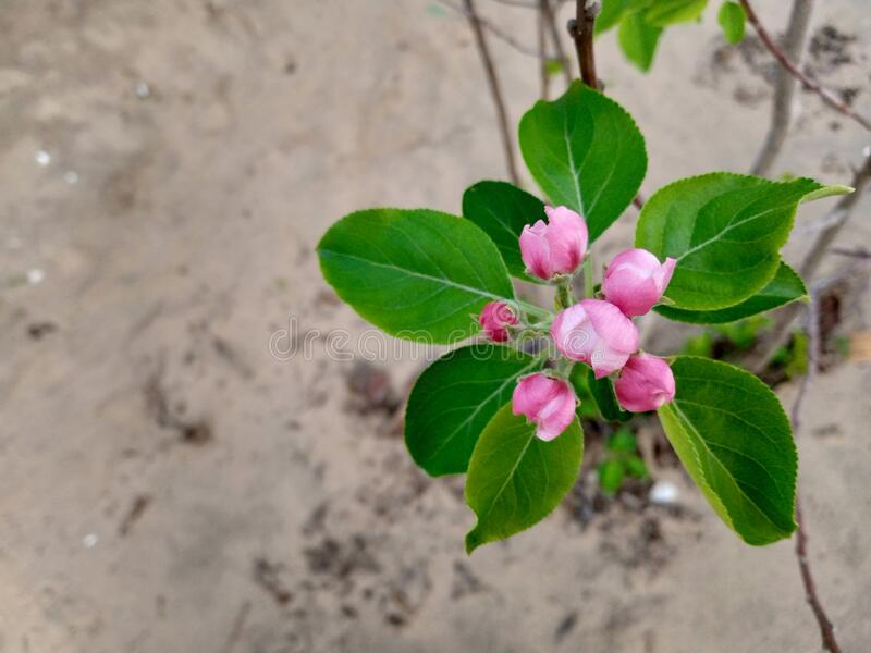 Closed apple flowers on a tree. Nice closed apple flowers closeup on apple tree at a farm royalty free stock photo