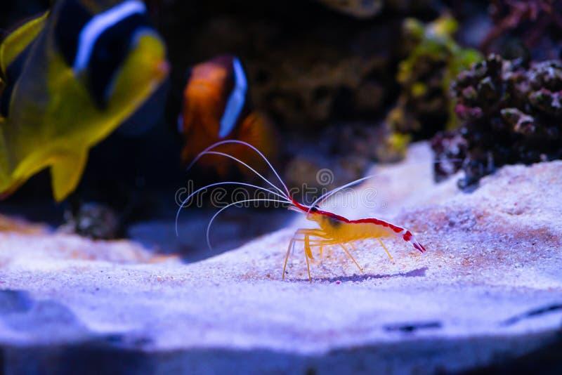 Nice color doctor shrimp sea aquarium nature royalty free stock images
