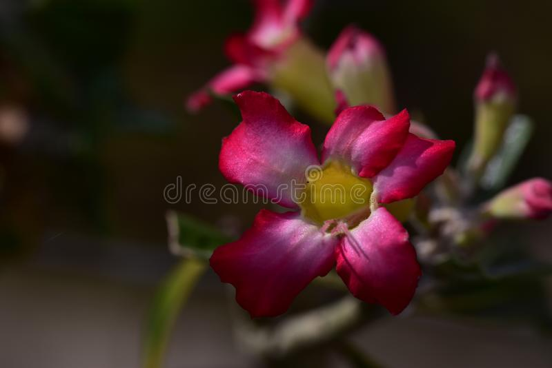 Nice colorful adenium close up in the sunshine royalty free stock photo