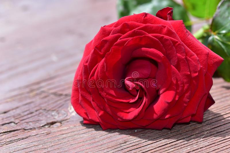 Nice colorful rose close up in the sunshine royalty free stock photography