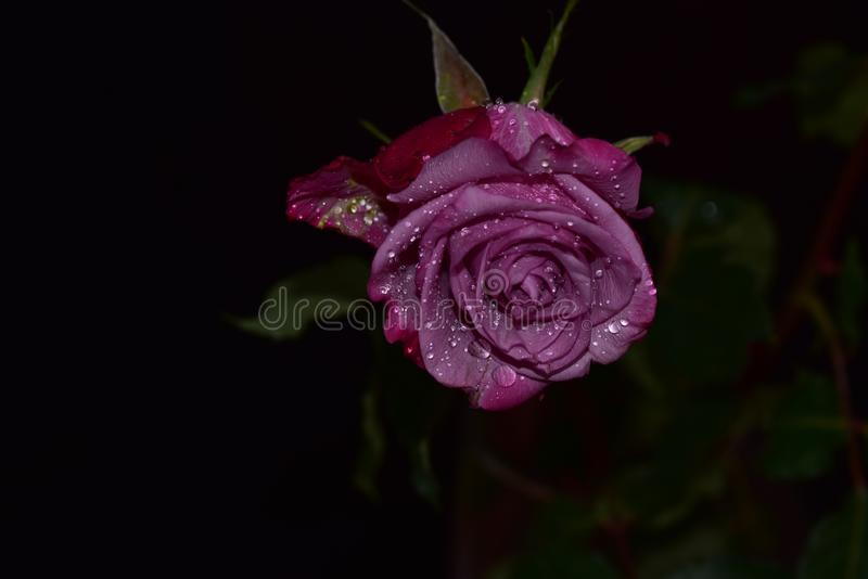 Nice colorful rose close up in the sunshine stock photo