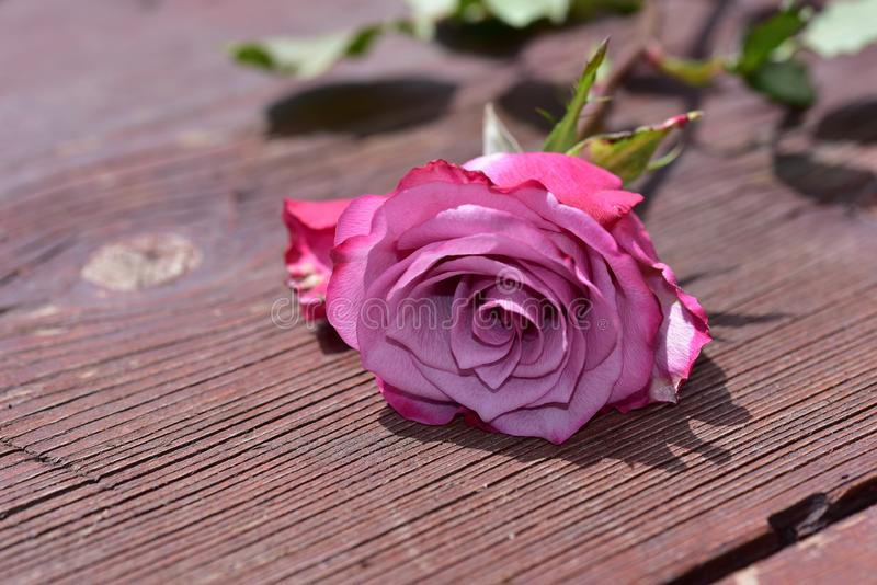 Nice colorful rose close up in the sunshine stock photography