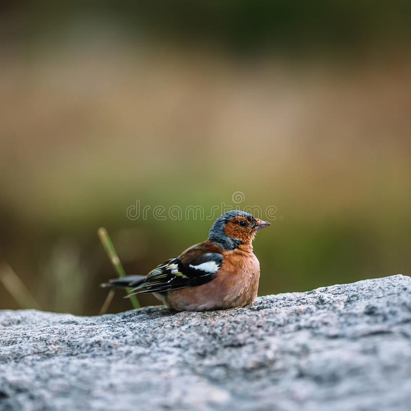 Nice colour light brown bird sitting on the stone. With blurry background royalty free stock photography