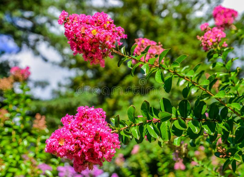 Blossoms of pink Crepe Myrtle lagerstroemia indica genus Lythraceae close up flowering in summer. Nice and comfortable great garden. Beautiful places of the royalty free stock image