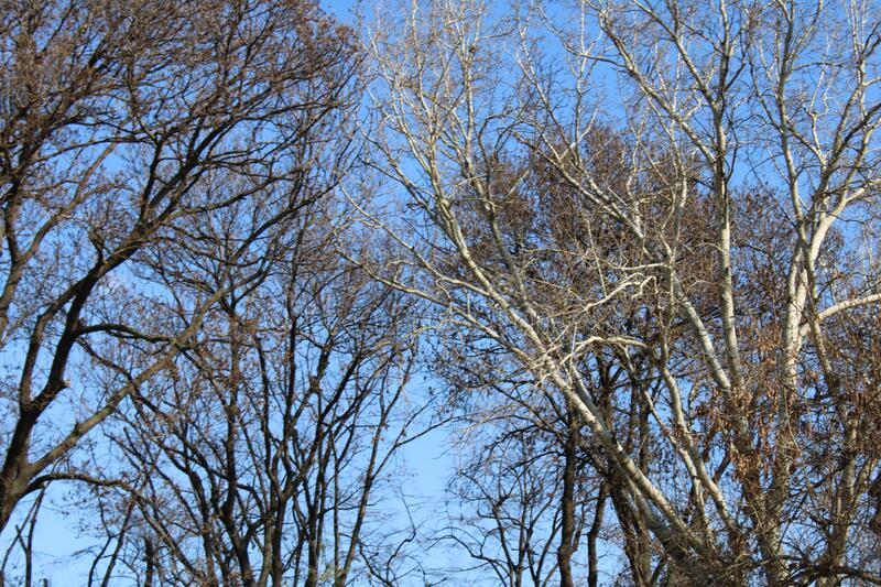 The nice contrast between the dark leavless branches of the winter trees and the blue sky in Vidin, Bulgaria royalty free stock photography