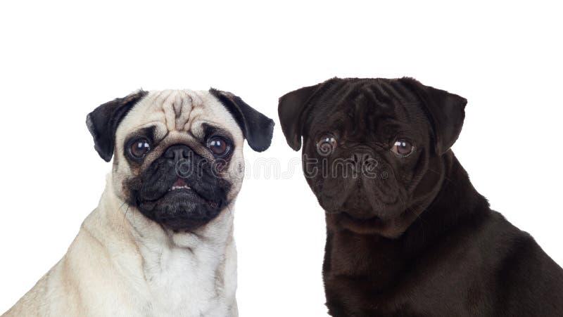 Nice couple of pug dogs stock image