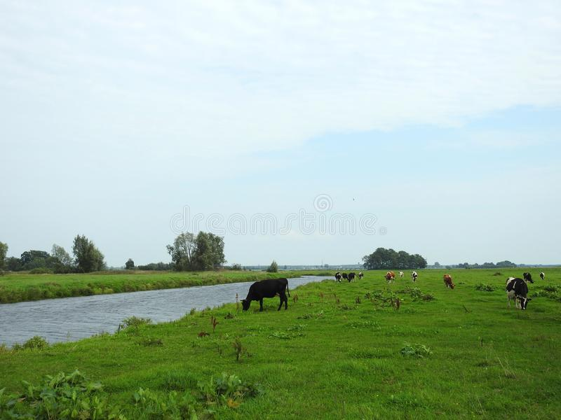 Beautiful cow animals in meadow, Lithuania. Nice cow animals in field near chanel in summer royalty free stock image