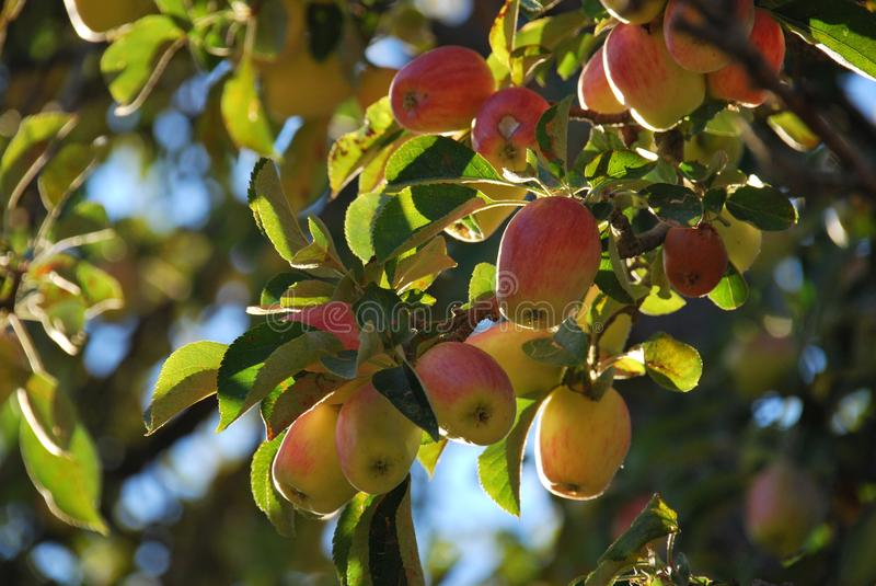 Nice crop of small yellow red apples in sun dappled tree royalty free stock images