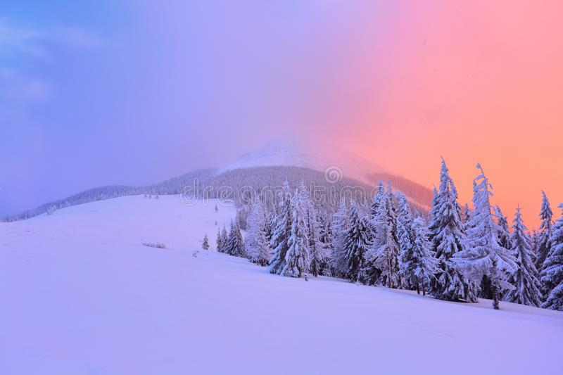 Nice curved fair trees covered with thick layer of snow are enlightened by pink yellow sunset in winter day. Fabulous winter background for a leaflet stock photo
