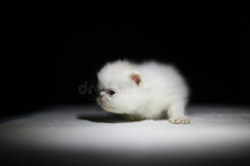 Nice  Cute newborn little cat baby. Usually a month old newborn cat just opened his eyes, very cute,people love the little animal baby cat royalty free stock photos