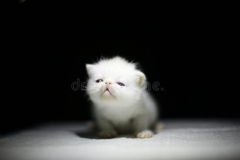 Nice  Cute newborn little cat baby. Usually a month old newborn cat just opened his eyes, very cute,people love the little animal baby cat royalty free stock images