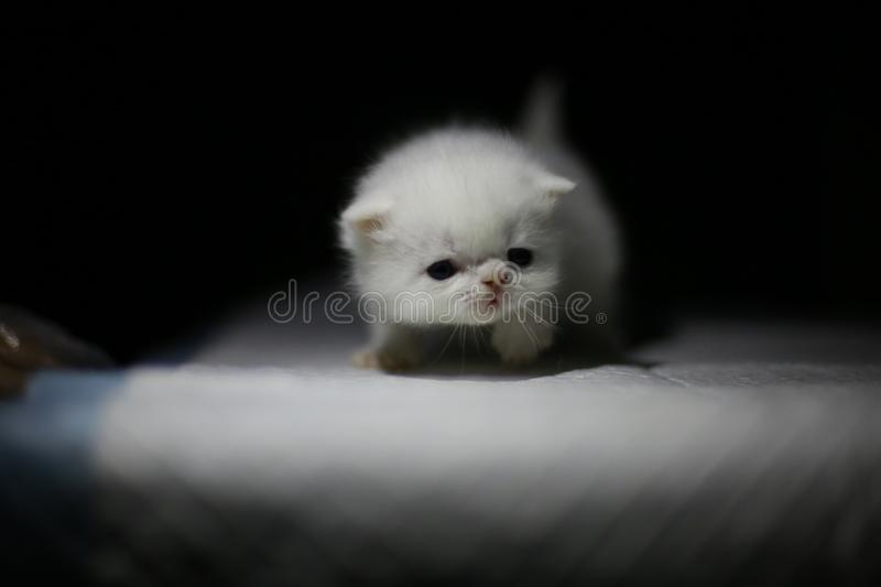 Nice  Cute newborn little cat baby. Usually a month old newborn cat just opened his eyes, very cute,people love the little animal baby cat royalty free stock image
