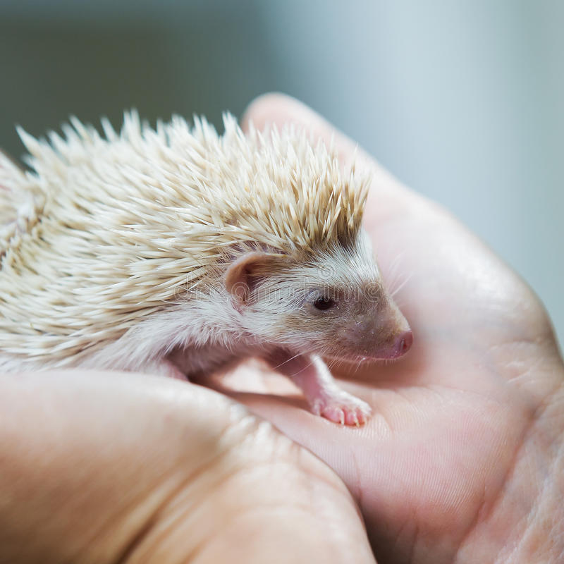 Nice and cute sleepy African pygmy hedgehog rolled. Up in his hand at his breeder, cuddling and socializing royalty free stock photo