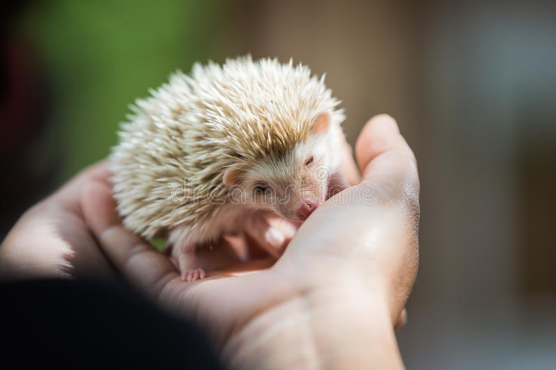 Nice and cute sleepy African pygmy hedgehog rolled up. In his hand at his breeder, cuddling and socializing stock images