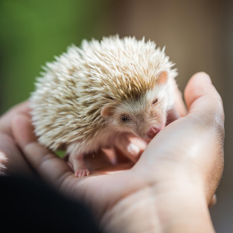 Nice and cute sleepy African pygmy hedgehog rolled up. In his hand at his breeder, cuddling and socializing royalty free stock photos