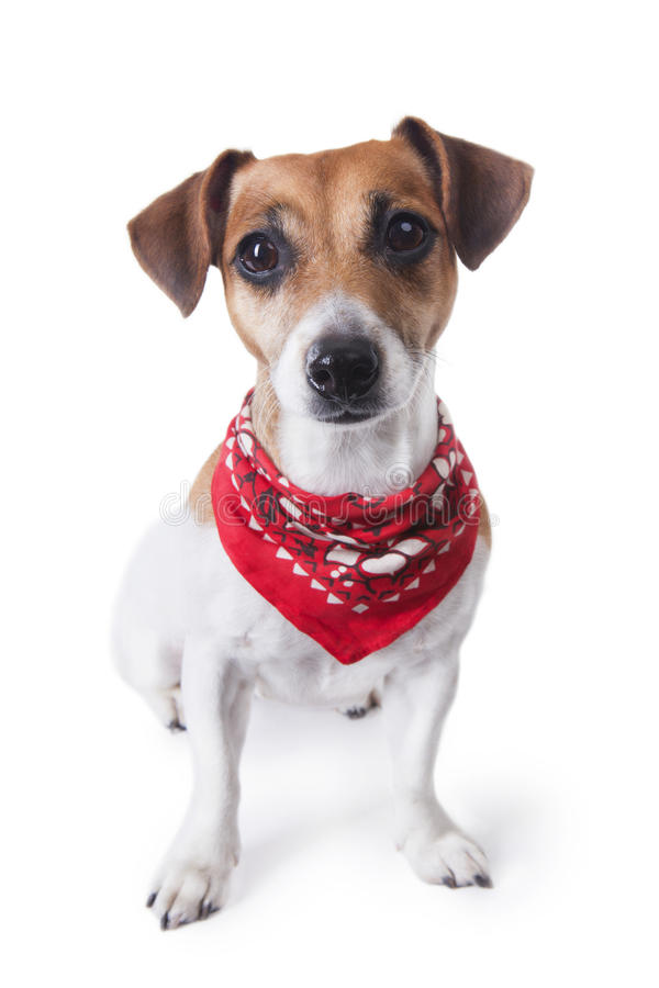 Download Nice dog with bandana stock photo. Image of pattern, costume - 34835722