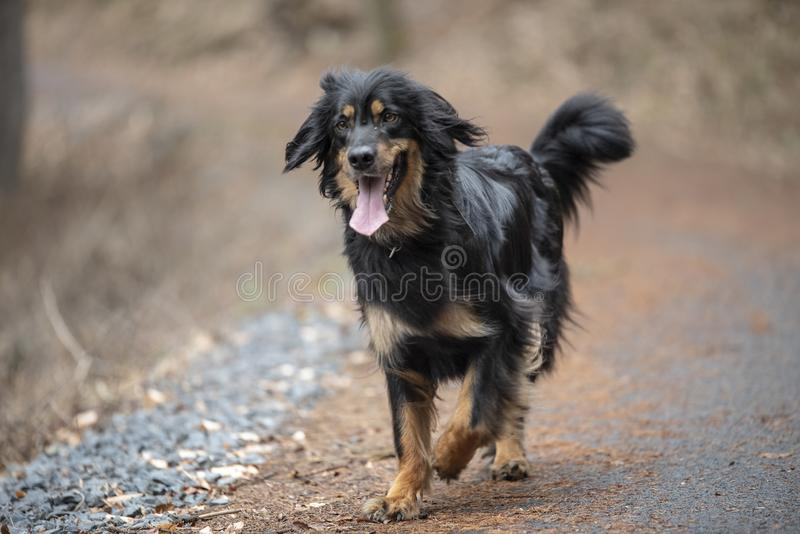 nice hovawart guarding breed from germany stock images