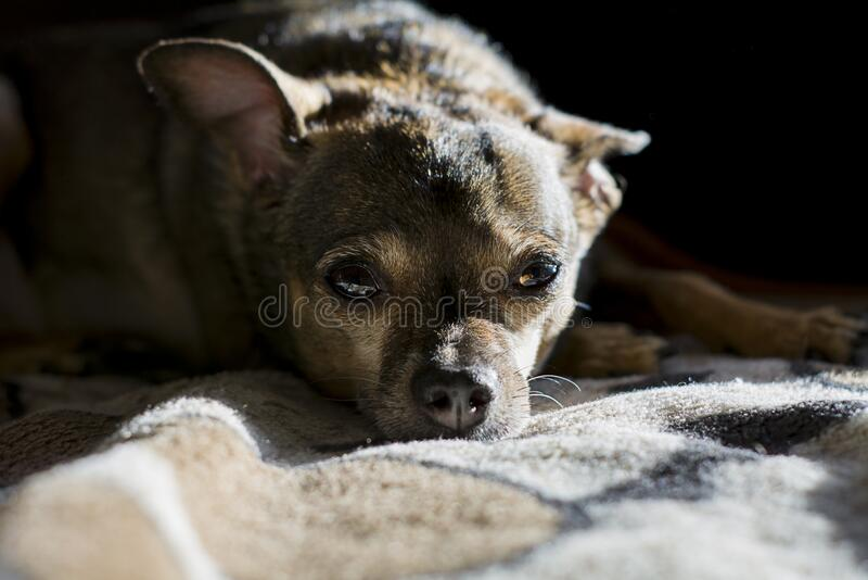 Nice dog, Toy-Terrier. lying on a blanket and looking into the distance royalty free stock image