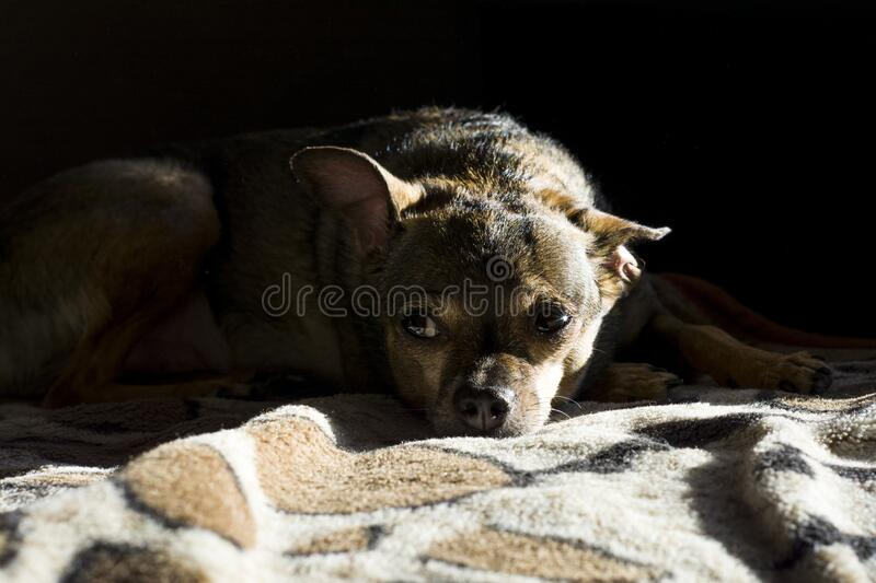 Nice dog, Toy-Terrier. lying on a blanket and looking into the distance royalty free stock photography