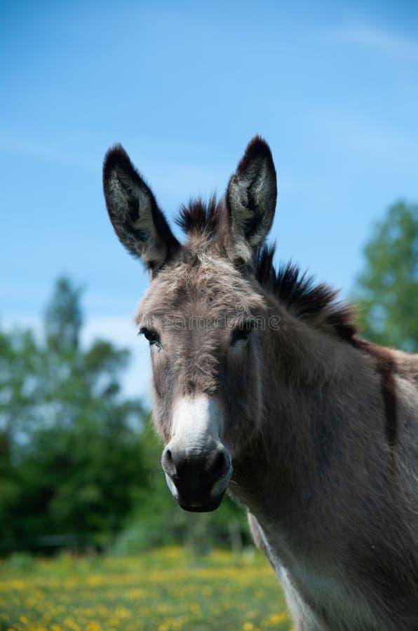 Free Nice Donkey Portrait Stock Images - 188798594