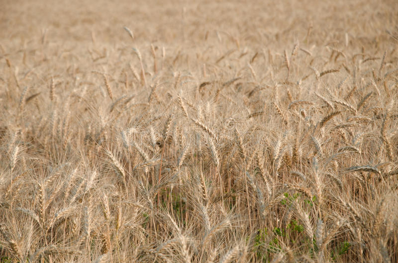 nice dry gold wheat stem close up. royalty free stock photos