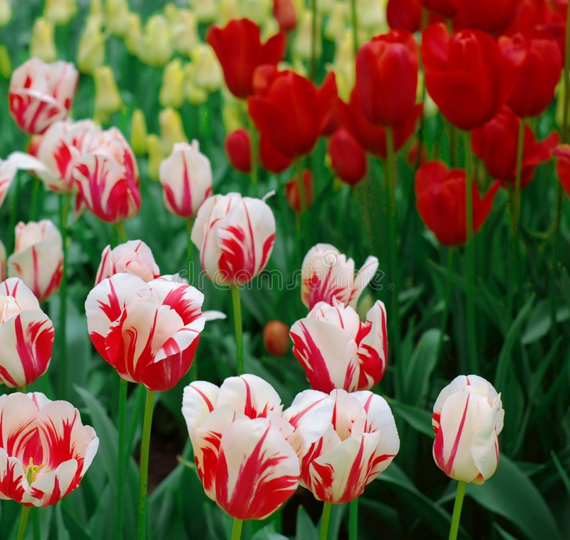 Nice dutch tulips stock photos
