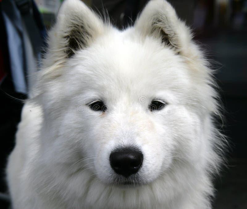 Download Nice Eskimo dog 1 stock photo. Image of bite, pose, fluffy - 1101146
