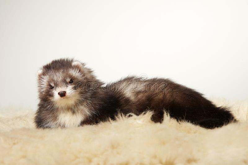 Nice female angora ferret laying on fur in studio. Pretty ferret portrait in studio royalty free stock photography