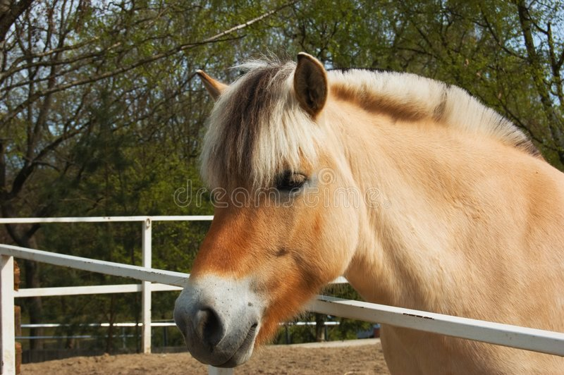 Nice fjord horse stock photos